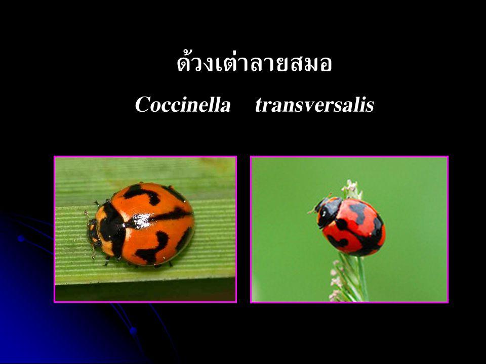 ด้วงเต่าลายสมอ Coccinella transversalis