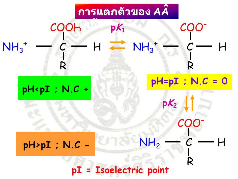COOH COO - NH 3 + C H R R COO - NH 2 C H R pH=pI ; N.C = 0 pH<pI ; N.C + pH>pI ; N.C - pI = Isoelectric point pK1pK1 pK2pK2 การแตกตัวของ AÂ ในน้ำ