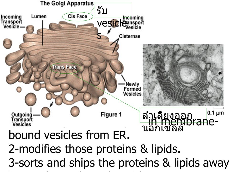 1-receives proteins & lipids in membrane- bound vesicles from ER. 2-modifies those proteins & lipids. 3-sorts and ships the proteins & lipids away in
