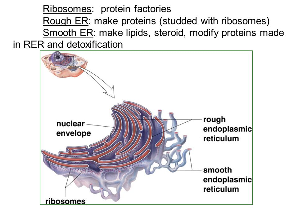 Ribosomes: protein factories Rough ER: make proteins (studded with ribosomes) Smooth ER: make lipids, steroid, modify proteins made in RER and detoxification