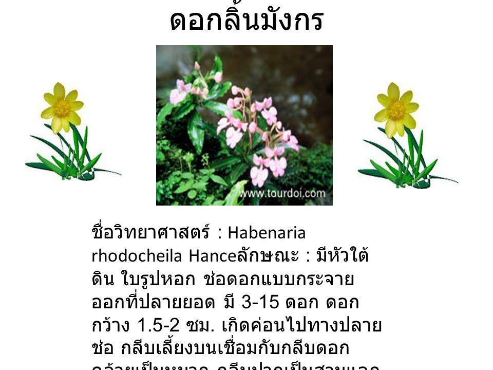 ดอกลิ้นมังกร ชื่อวิทยาศาสตร์ : Habenaria rhodocheila Hance ลักษณะ : มีหัวใต้ ดิน ใบรูปหอก ช่อดอกแบบกระจาย ออกที่ปลายยอด มี 3-15 ดอก ดอก กว้าง 1.5-2 ซม.
