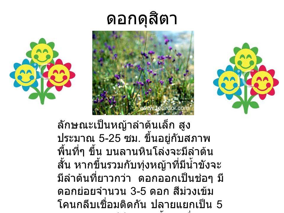 ดอกดุสิตา ลักษณะเป็นหญ้าลำต้นเล็ก สูง ประมาณ 5-25 ซม.