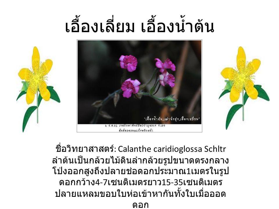เอื้องเลี่ยม เอื้องน้ำต้น ชื่อวิทยาสาสตร์ : Calanthe caridioglossa Schltr ลำต้นเป็นกล้วยไม้ดินลำกล้วยรูปขนาดตรงกลาง โป่งออกสูงถึงปลายช่อดอกประมาณ 1 เมตรในรูป ดอกกว้าง 4-7 เซนติเมตรยาว 15-35 เซนติเมตร ปลายแหลมขอบใบห่อเข้าหากันทั้งใบเมื่อออด ดอก