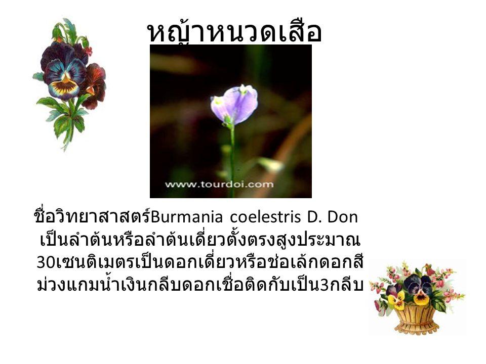 หญ้าหนวดเสือ ชื่อวิทยาสาสตร์ Burmania coelestris D.