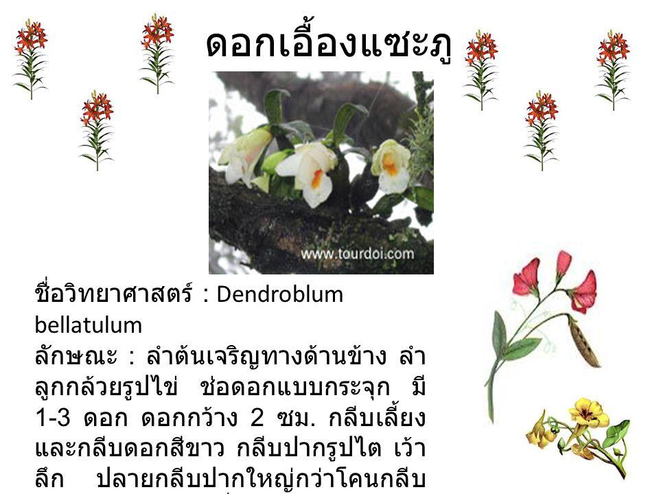 ดอกเอื้องแซะภู ชื่อวิทยาศาสตร์ : Dendroblum bellatulum ลักษณะ : ลำต้นเจริญทางด้านข้าง ลำ ลูกกล้วยรูปไข่ ช่อดอกแบบกระจุก มี 1-3 ดอก ดอกกว้าง 2 ซม.