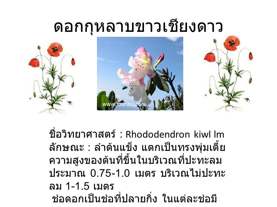 ดอกกุหลาบขาวเชียงดาว ชื่อวิทยาศาสตร์ : Rhododendron kiwl lm ลักษณะ : ลำต้นแข็ง แตกเป็นทรงพุ่มเตี้ย ความสูงของต้นที่ขึ้นในบริเวณที่ปะทะลม ประมาณ 0.75-1.0 เมตร บริเวณไม่ปะทะ ลม 1-1.5 เมตร ช่อดอกเป็นช่อที่ปลายกิ่ง ในแต่ละช่อมี 3- 5 ดอก