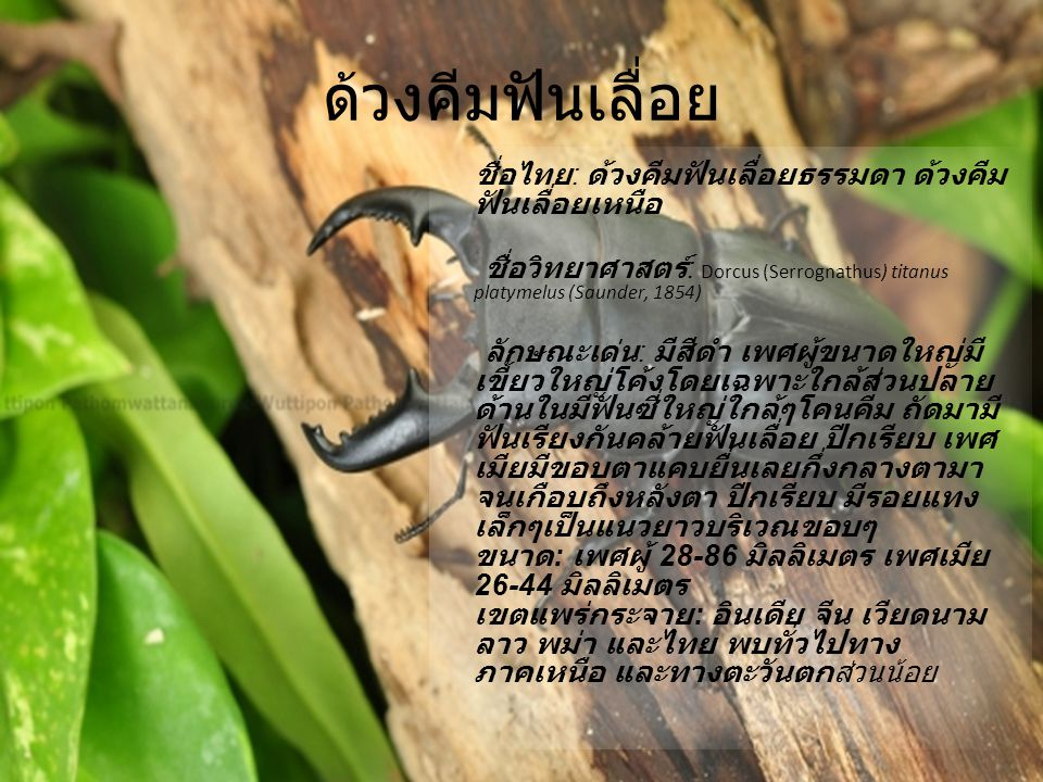 ด้วงคีมฟันเลื่อย ชื่อไทย : ด้วงคีมฟันเลื่อยธรรมดา ด้วงคีม ฟันเลื่อยเหนือ ชื่อวิทยาศาสตร์ : Dorcus (Serrognathus) titanus platymelus (Saunder, 1854) ลั
