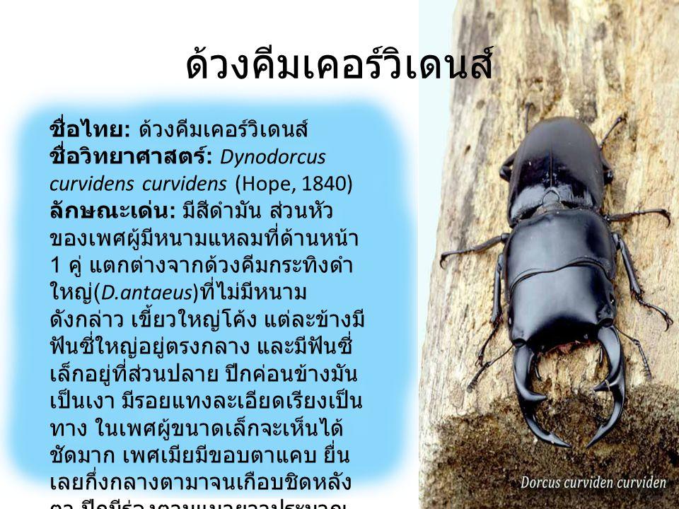 ด้วงคีมเคอร์วิเดนส์ ขนาด : เพศผู้ 30-80 มิลลิเมตร เพศเมีย 30-44 มิลลิเมตร เขตแพร่กระจาย : อินเดีย เนปาล ภูฏาน บังคลาเทศ เวียดนาม ลาว พม่า และไทย พบทางภาคตะวันตกและ ตะวันออกเฉียงเหนือเล็กน้อย ส่วนใหญ่จะพบมากทาง ภาคเหนือโดยเฉพาะบนดอย สูง