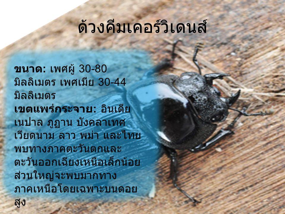 ด้วงคีมเคอร์วิเดนส์ ขนาด : เพศผู้ 30-80 มิลลิเมตร เพศเมีย 30-44 มิลลิเมตร เขตแพร่กระจาย : อินเดีย เนปาล ภูฏาน บังคลาเทศ เวียดนาม ลาว พม่า และไทย พบทาง