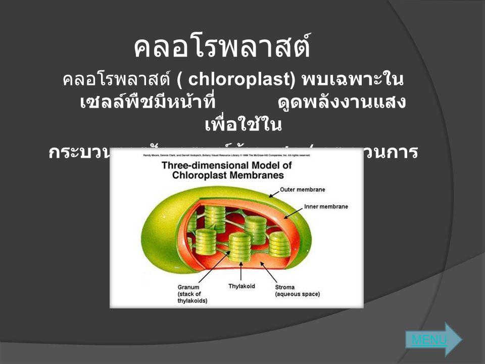 คลอโรพลาสต์ คลอโรพลาสต์ ( chloroplast) พบเฉพาะใน เซลล์พืชมีหน้าที่ ดูดพลังงานแสง เพื่อใช้ใน กระบวนการสังเคราะห์ด้วยแสง ( กระบวนการ สร้างอาหารของพืช )