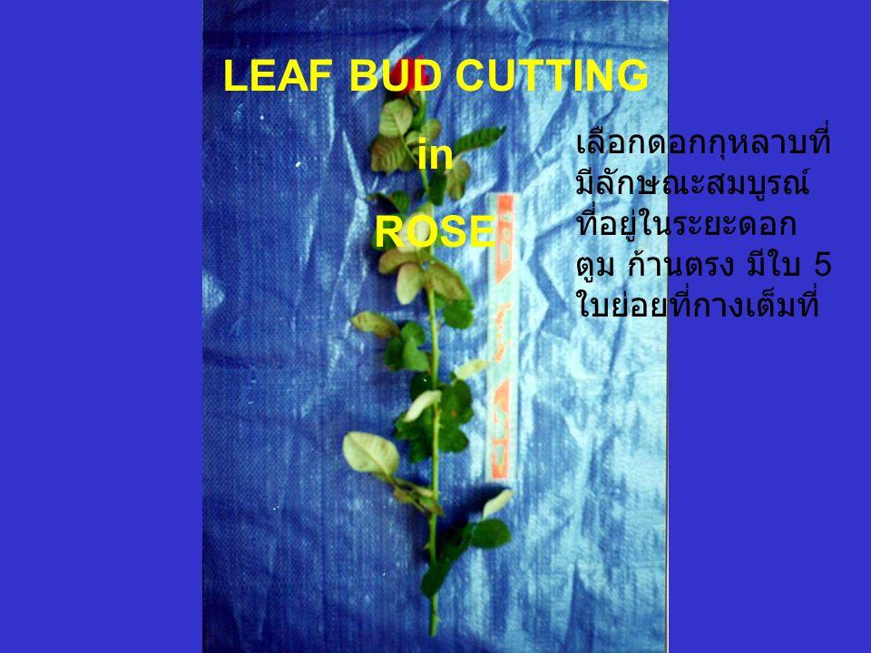LEAF BUD CUTTING in ROSE เลือกดอกกุหลาบที่ มีลักษณะสมบูรณ์ ที่อยู่ในระยะดอก ตูม ก้านตรง มีใบ 5 ใบย่อยที่กางเต็มที่