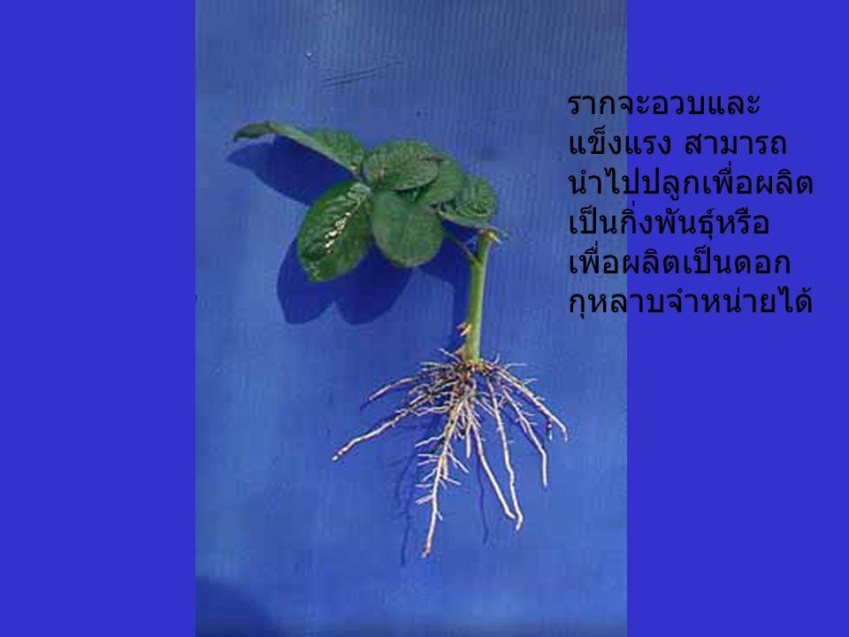รากจะอวบและ แข็งแรง สามารถ นำไปปลูกเพื่อผลิต เป็นกิ่งพันธุ์หรือ เพื่อผลิตเป็นดอก กุหลาบจำหน่ายได้