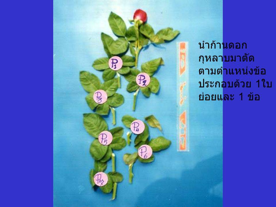นำก้านดอก กุหลาบมาตัด ตามตำแหน่งข้อ ประกอบด้วย 1 ใบ ย่อยและ 1 ข้อ