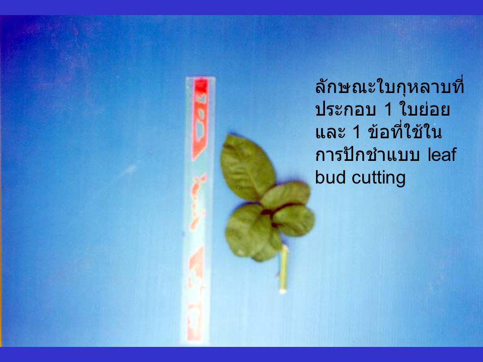 ลักษณะใบกุหลาบที่ ประกอบ 1 ใบย่อย และ 1 ข้อที่ใช้ใน การปักชำแบบ leaf bud cutting