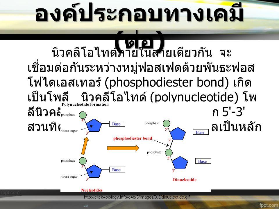 องค์ประกอบทางเคมี ( ต่อ ) นิวคลีโอไทด์ภายในสายเดียวกัน จะ เชื่อมต่อกันระหว่างหมู่ฟอสเฟตด้วยพันธะฟอส โฟไดเอสเทอร์ (phosphodiester bond) เกิด เป็นโพลี น