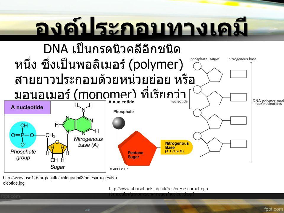 องค์ประกอบทางเคมี DNA เป็นกรดนิวคลีอิกชนิด หนึ่ง ซึ่งเป็นพอลิเมอร์ (polymer) สายยาวประกอบด้วยหน่วยย่อย หรือ มอนอเมอร์ (monomer) ที่เรียกว่า นิวคลีโอไท
