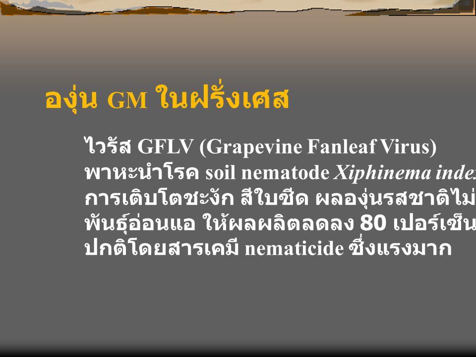 องุ่น GM ในฝรั่งเศส ไวรัส GFLV (Grapevine Fanleaf Virus) พาหะนำโรค soil nematode Xiphinema index การเติบโตชะงัก สีใบซีด ผลองุ่นรสชาติไม่ดี พันธุ์อ่อนแ
