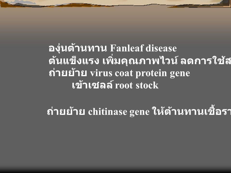 องุ่นต้านทาน Fanleaf disease ต้นแข็งแรง เพิ่มคุณภาพไวน์ ลดการใช้สารเคมี ถ่ายย้าย virus coat protein gene เข้าเซลล์ root stock ถ่ายย้าย chitinase gene