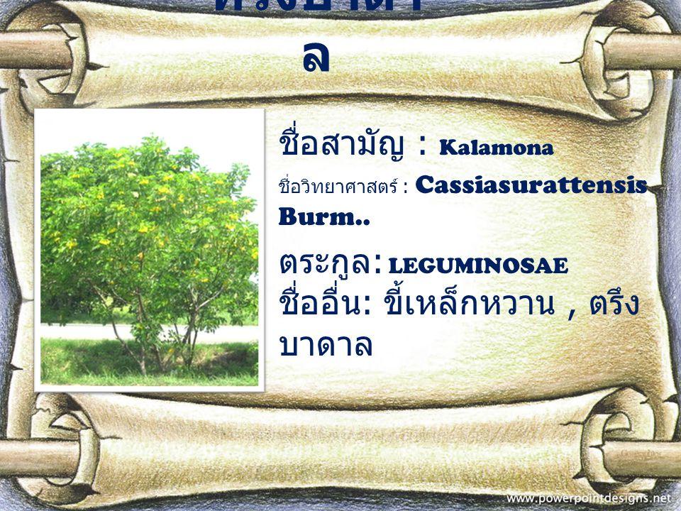 ทรงบาดา ล ชื่อสามัญ : Kalamona ชื่อวิทยาศาสตร์ : Cassiasurattensis Burm.. ตระกูล : LEGUMINOSAE ชื่ออื่น : ขี้เหล็กหวาน, ตรึง บาดาล