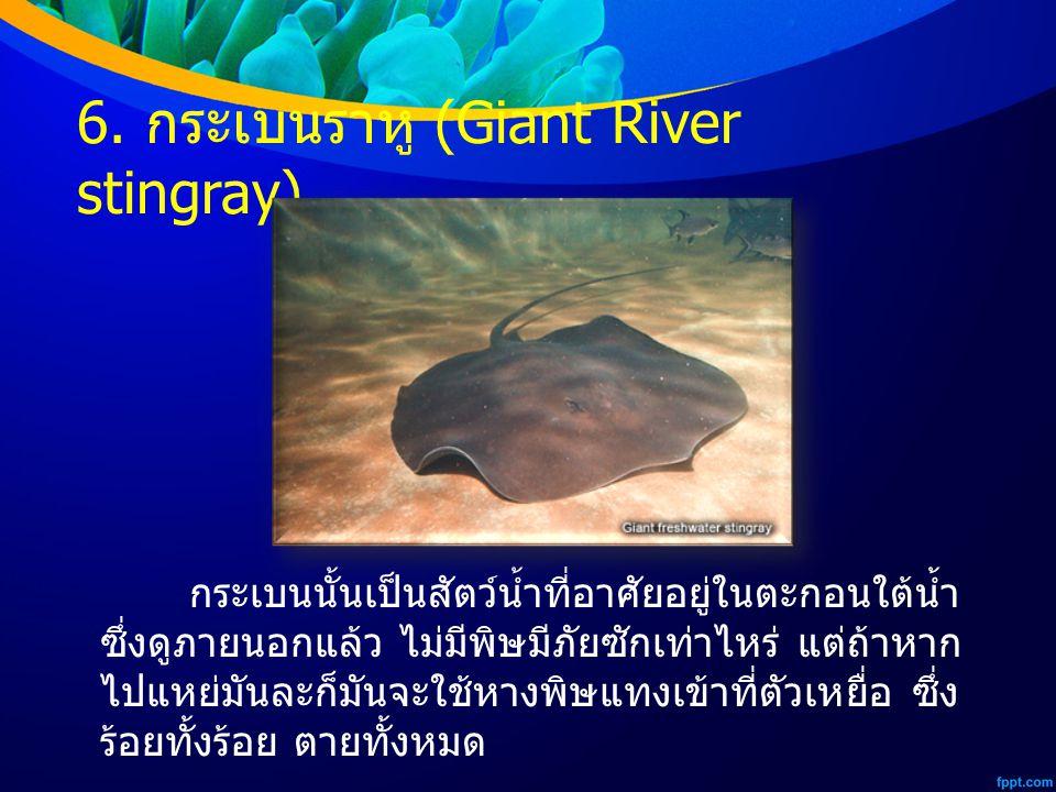 6. กระเบนราหู (Giant River stingray) กระเบนนั้นเป็นสัตว์น้ำที่อาศัยอยู่ในตะกอนใต้น้ำ ซึ่งดูภายนอกแล้ว ไม่มีพิษมีภัยซักเท่าไหร่ แต่ถ้าหาก ไปแหย่มันละก็