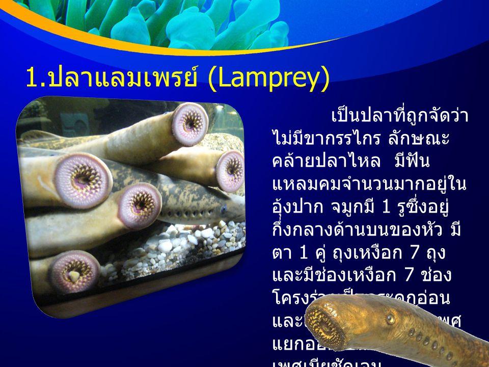 1. ปลาแลมเพรย์ (Lamprey) เป็นปลาที่ถูกจัดว่า ไม่มีขากรรไกร ลักษณะ คล้ายปลาไหล มีฟัน แหลมคมจำนวนมากอยู่ใน อุ้งปาก จมูกมี 1 รูซึ่งอยู่ กึ่งกลางด้านบนของ