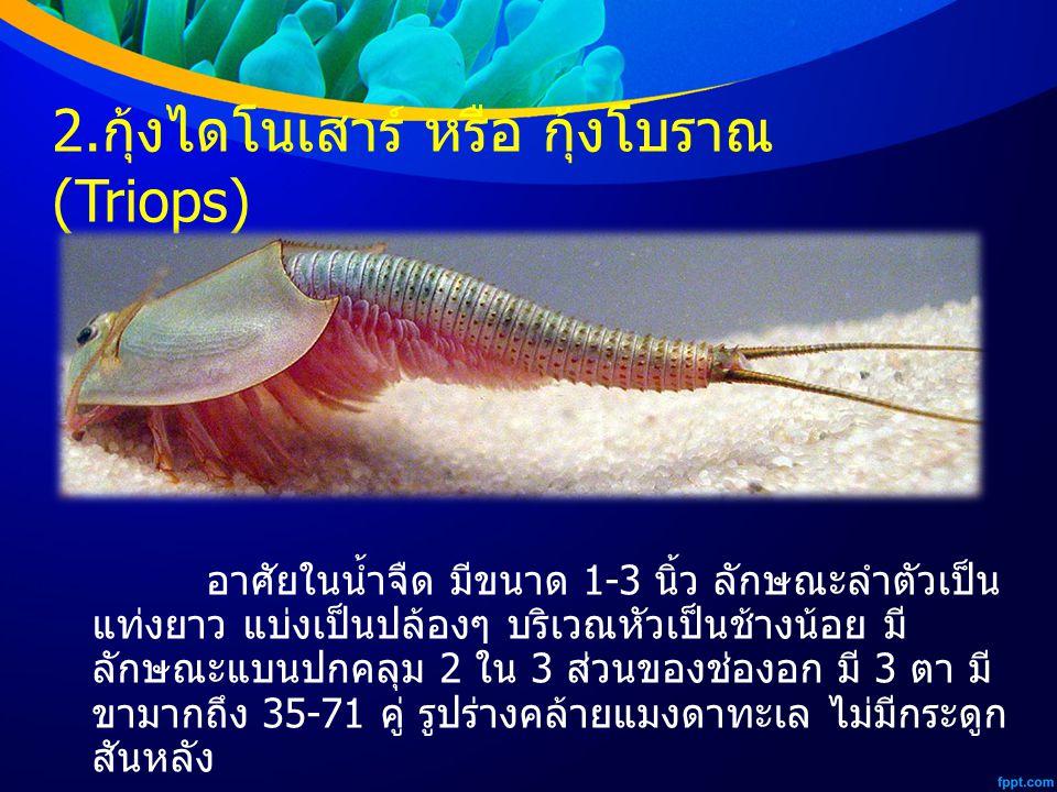 2. กุ้งไดโนเสาร์ หรือ กุ้งโบราณ (Triops) อาศัยในน้ำจืด มีขนาด 1-3 นิ้ว ลักษณะลำตัวเป็น แท่งยาว แบ่งเป็นปล้องๆ บริเวณหัวเป็นช้างน้อย มี ลักษณะแบนปกคลุม