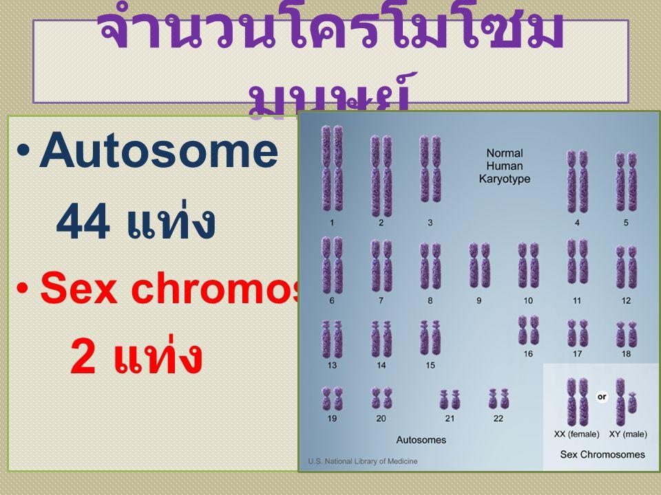 จำนวนโครโมโซม มนุษย์ Autosome 44 แท่ง Sex chromosome 2 แท่ง