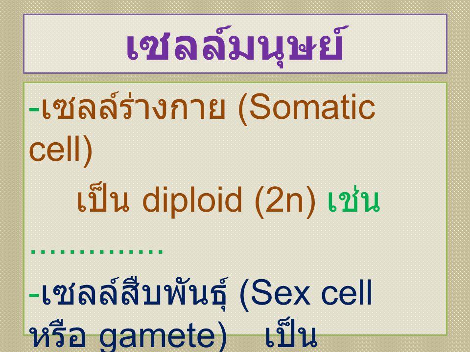 เซลล์มนุษย์ - เซลล์ร่างกาย (Somatic cell) เป็น diploid (2n) เช่น.............. - เซลล์สืบพันธุ์ (Sex cell หรือ gamete) เป็น haploid (n) หรือ ลดครึ่งหน
