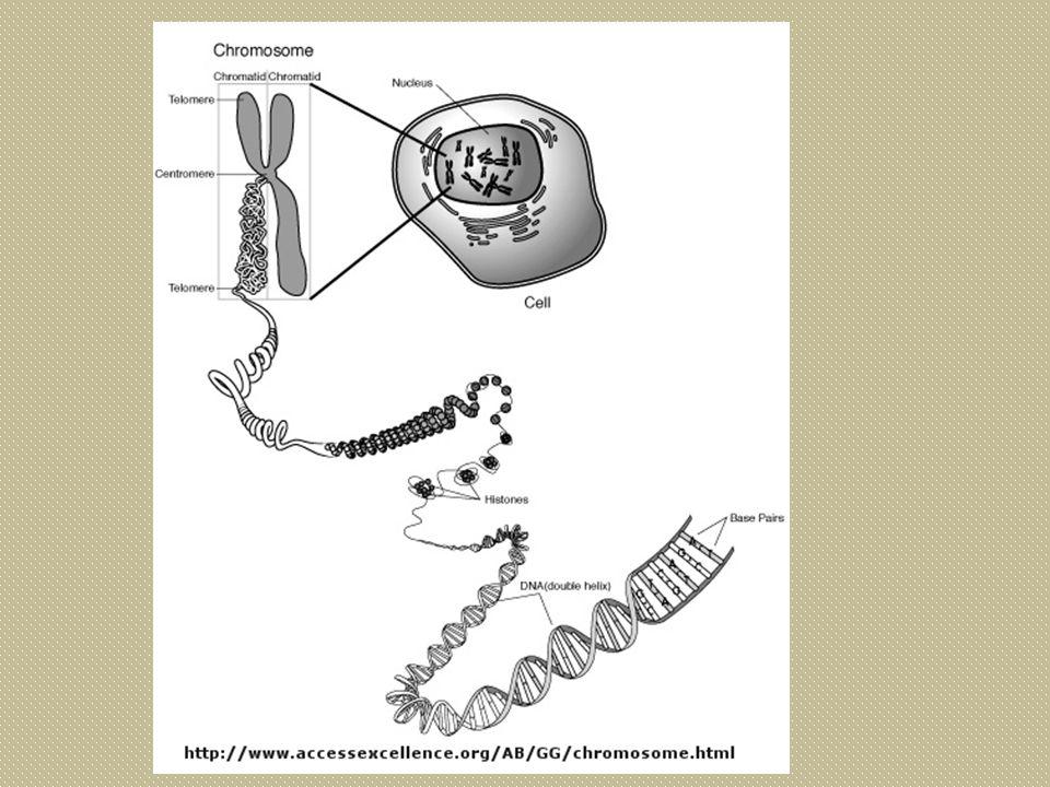 Nucleic acid DNARNA polynucleotide 2 สาย 1 สาย เบส T A G CU A G C น้ำตาล deoxyriboseribose หมู่ฟอสเฟตมี หน้าที่สารพันธุกรรมใน สมช.
