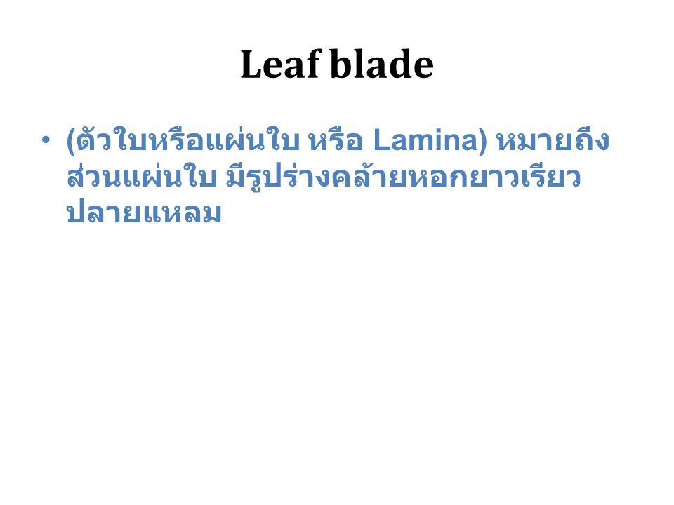 Leaf blade ( ตัวใบหรือแผ่นใบ หรือ Lamina) หมายถึง ส่วนแผ่นใบ มีรูปร่างคล้ายหอกยาวเรียว ปลายแหลม