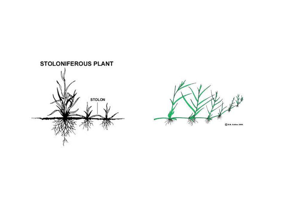 Adventitious Roots ( รากสามัญ ) รากสามัญจะเจริญออกมาจากส่วน หัว ของพืช ( ซึ่งเป็นลำต้นแบบพิเศษชนิดหนึ่ง ) หรืออาจจะเจริญออกมาจากกิ่ง