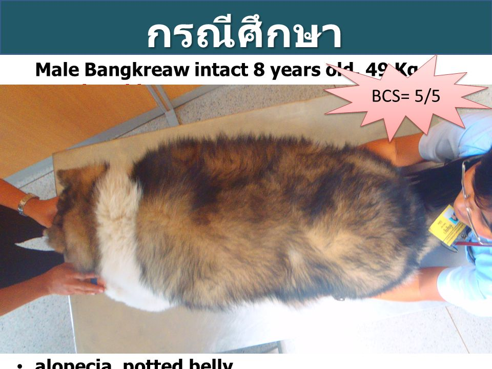 กรณีศึกษา Male Bangkreaw intact 8 years old, 49 Kg Previous history: On dermatology treatment of thyroid supplement but was off it for a year On insul