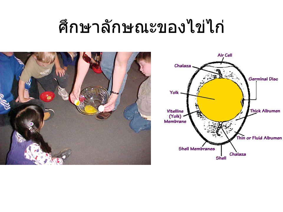 ศึกษาลักษณะของไข่ไก่