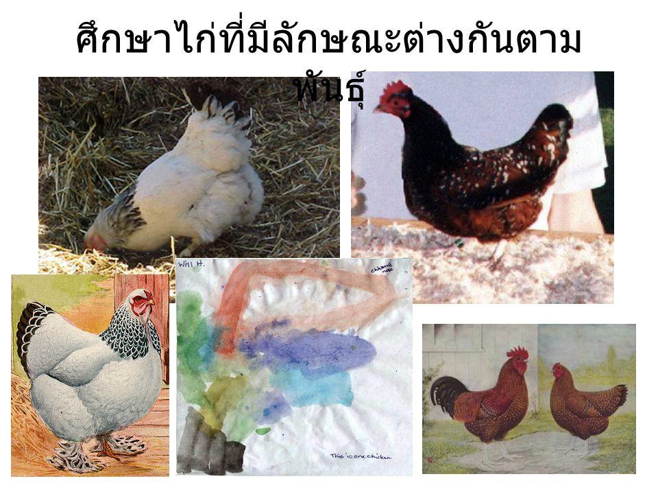 ศึกษาไก่ที่มีลักษณะต่างกันตาม พันธุ์