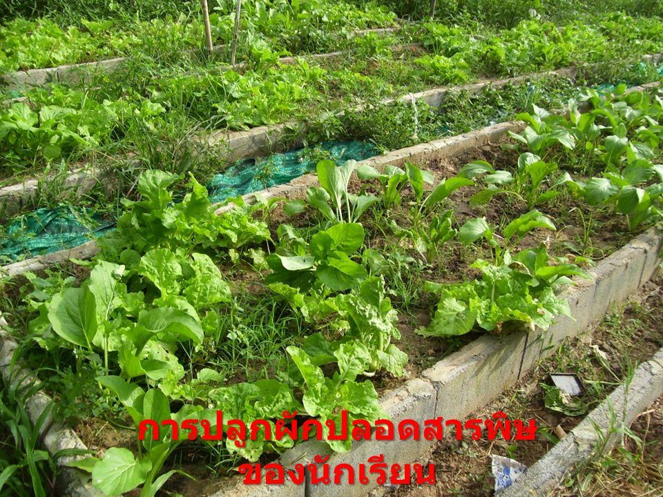 การปลูกผักปลอดสารพิษ ของนักเรียน