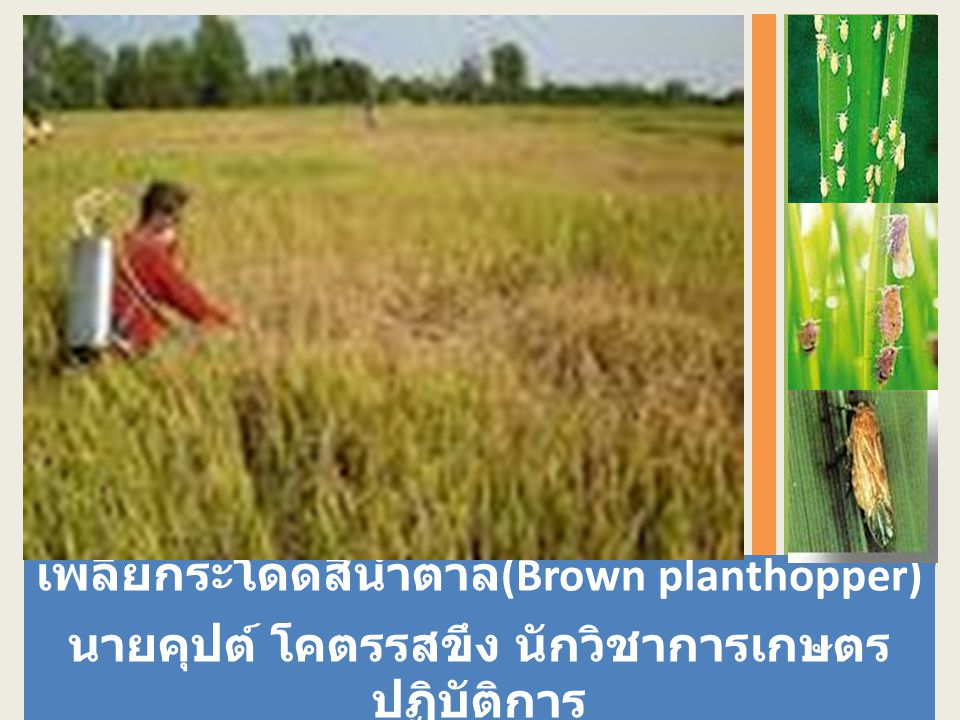 เพลี้ยกระโดดสีน้ำตาล (Brown planthopper) นายคุปต์ โคตรรสขึง นักวิชาการเกษตร ปฏิบัติการ