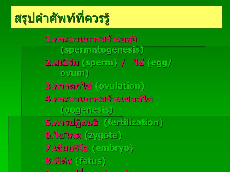 สรุปคำศัพท์ที่ควรรู้ 1. กระบวนการสร้างอสุจิ (spermatogenesis) 2.