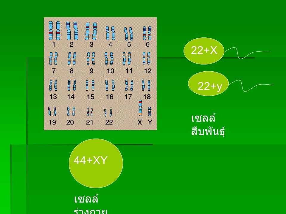 22+X 22+y 44+XY เซลล์ ร่างกาย เซลล์ สืบพันธุ์