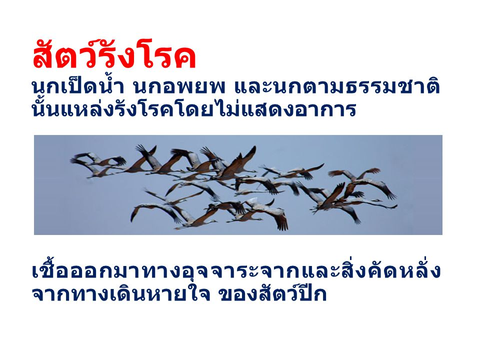 สัตว์รังโรค นกเป็ดน้ำ นกอพยพ และนกตามธรรมชาติ นั้นแหล่งรังโรคโดยไม่แสดงอาการ เชื้อออกมาทางอุจจาระจากและสิ่งคัดหลั่ง จากทางเดินหายใจ ของสัตว์ปีก