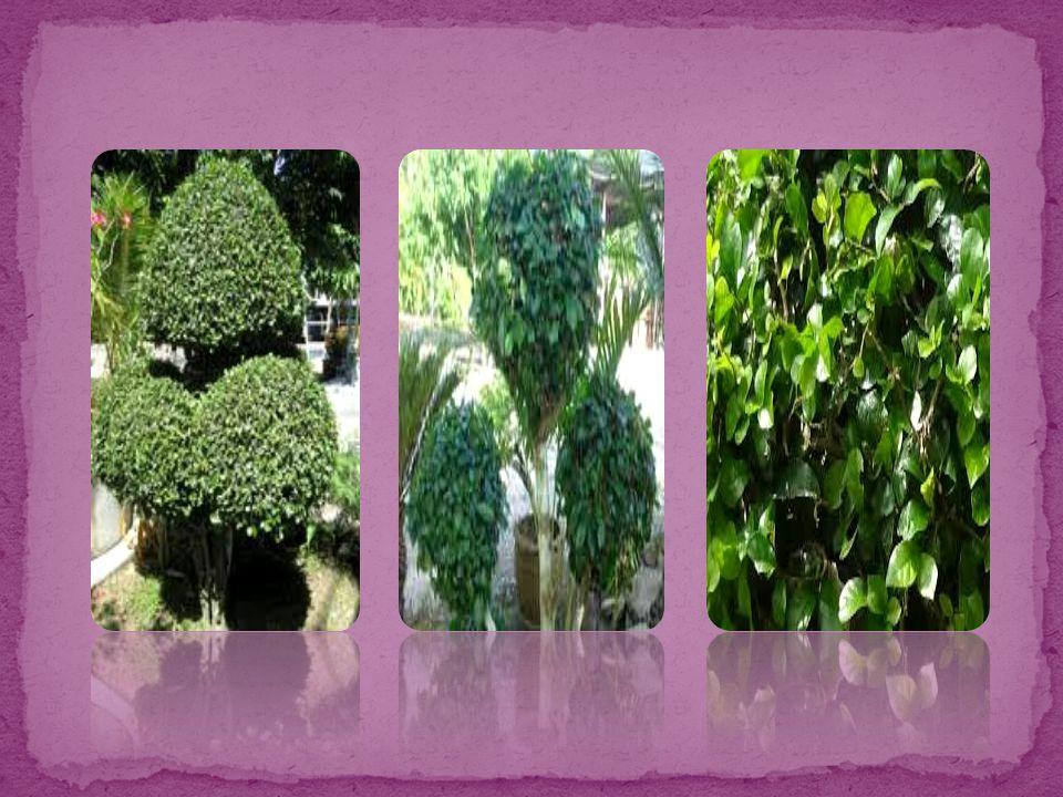 ลักษณะทางพฤกษศาสตร์ : ไม้ต้น แตกกิ่งก้านเป็นพุ่มทึบ กิ่งก้านคดงอ เปลือกต้นบาง ขรุขระเล็กน้อย สีเทาอมเขียว มียางสีขาวข้น