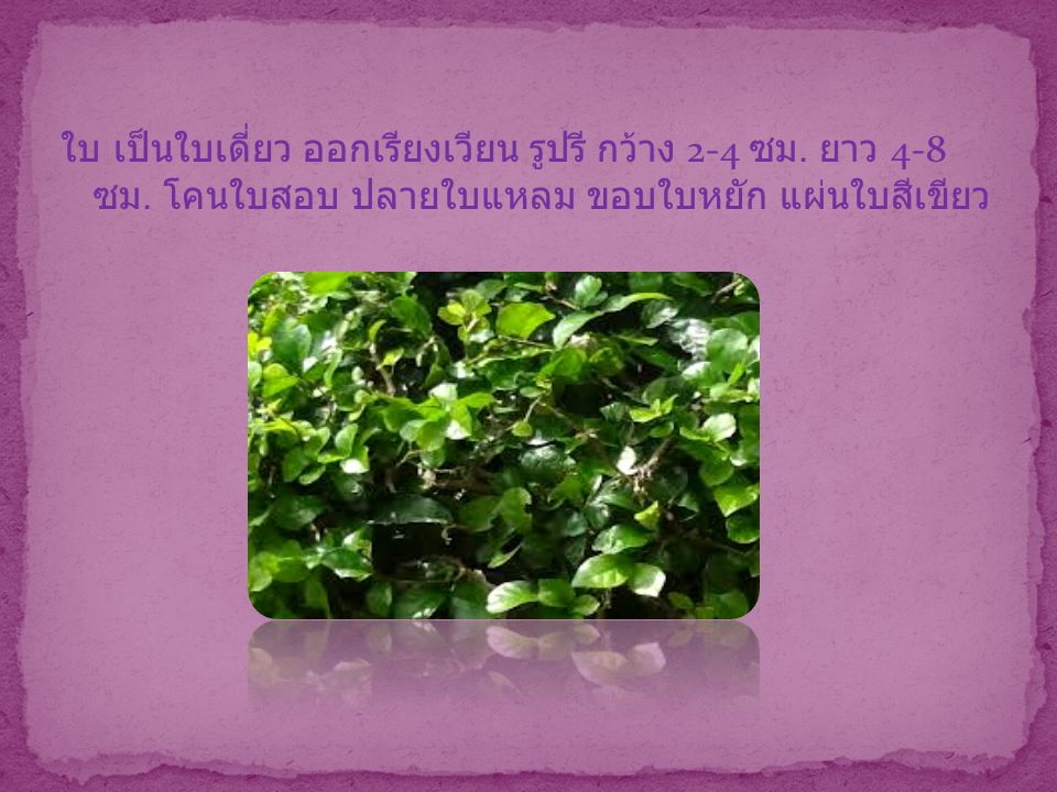 ดอก ออกเป็นช่อสั้นตามซอกใบ ดอกย่อยเล็กมาก ดอกแยก เพศ ดอกเพศผู้รวมกันเป็นช่อกลม ก้านดอกสั้น ดอกเพศ เมียช่อหนึ่งมีดอกย่อย 2 ดอก ก้านดอกยาว ผล รูปทรงกลม ผลมีเนื้อ ผนังผลชั้นในแข็ง เมื่ออ่อนสีเขียว สุกเป็นสีเหลือง ใส เมล็ดเดี่ยว แข็ง กลม