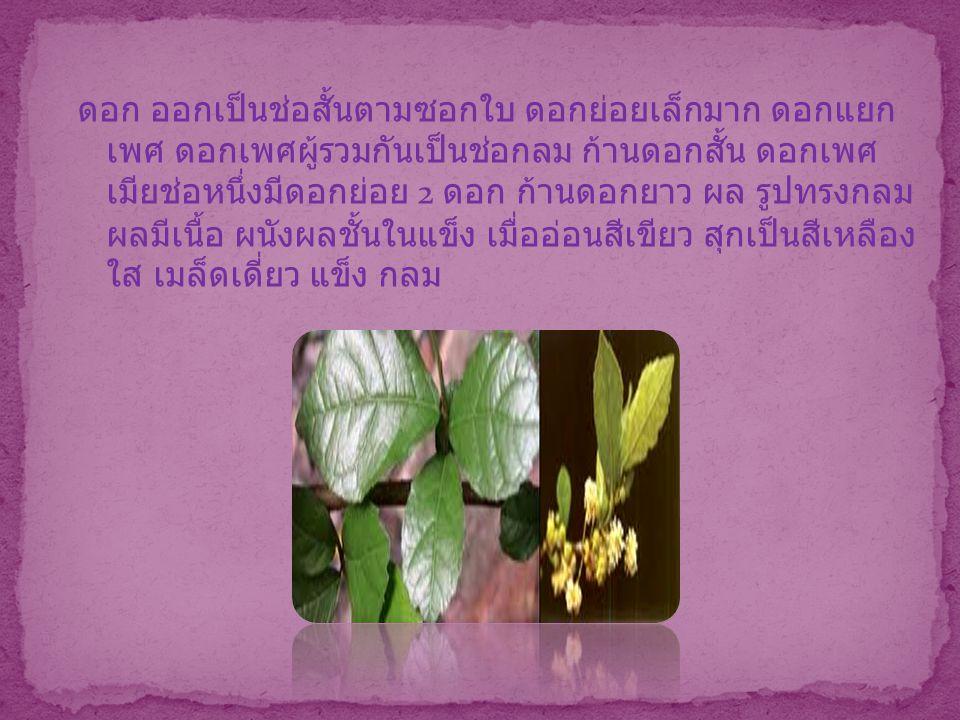 ดอก ออกเป็นช่อสั้นตามซอกใบ ดอกย่อยเล็กมาก ดอกแยก เพศ ดอกเพศผู้รวมกันเป็นช่อกลม ก้านดอกสั้น ดอกเพศ เมียช่อหนึ่งมีดอกย่อย 2 ดอก ก้านดอกยาว ผล รูปทรงกลม