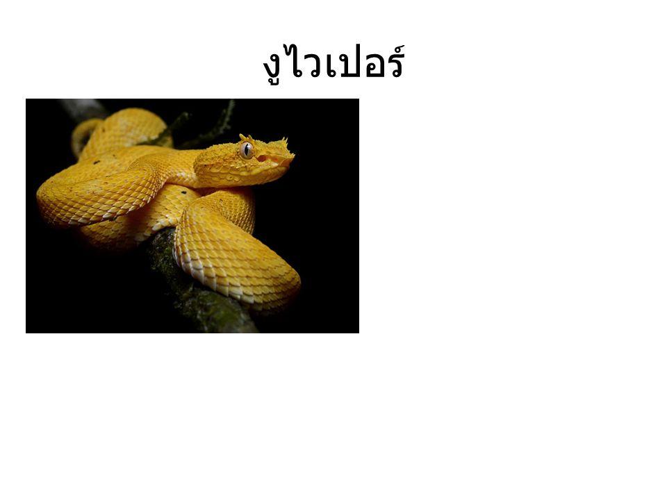 งูไทปัน ตามรายงานโดนกัด ไม่ได้รับการรักษา มักเสียชีวิตไม่เกิน 2- 3 ชม.