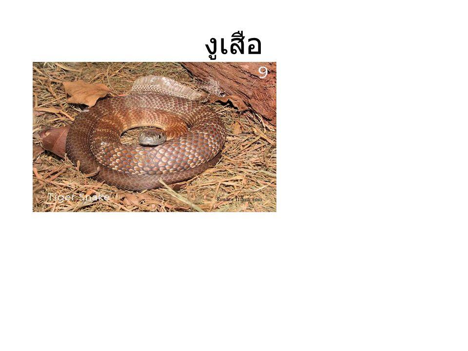 งูเห่าฟิลิปปินส์ จะดุร้ายถ้าไป รบกวนมันพบที่ ประเทศฟิลิปปินส์