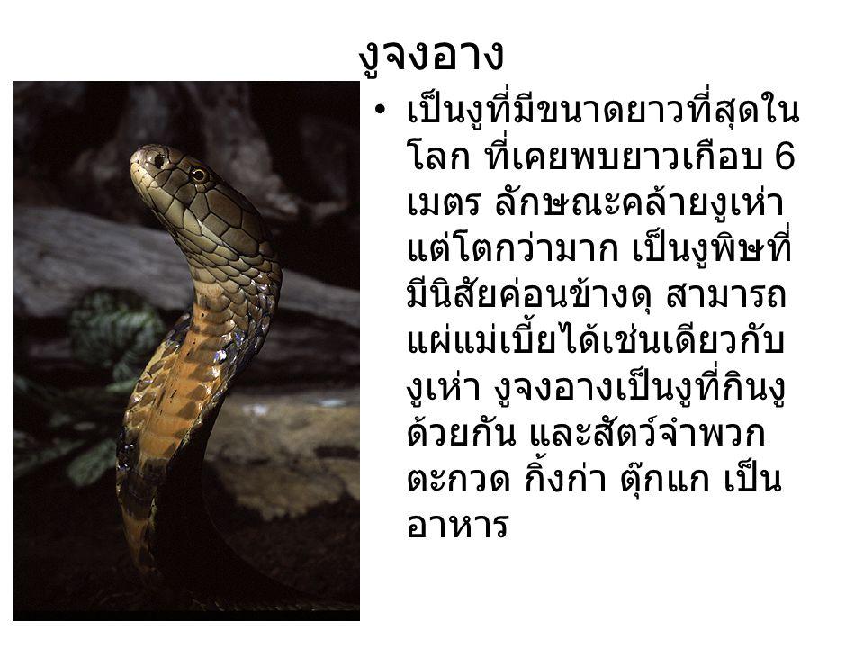 งูจงอาง เป็นงูที่มีขนาดยาวที่สุดใน โลก ที่เคยพบยาวเกือบ 6 เมตร ลักษณะคล้ายงูเห่า แต่โตกว่ามาก เป็นงูพิษที่ มีนิสัยค่อนข้างดุ สามารถ แผ่แม่เบี้ยได้เช่น
