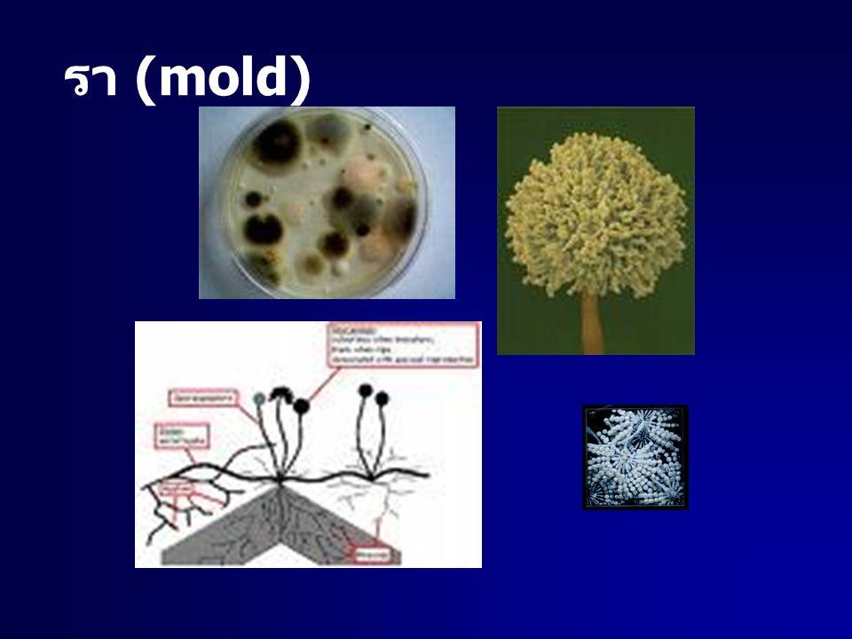 รา (mold)