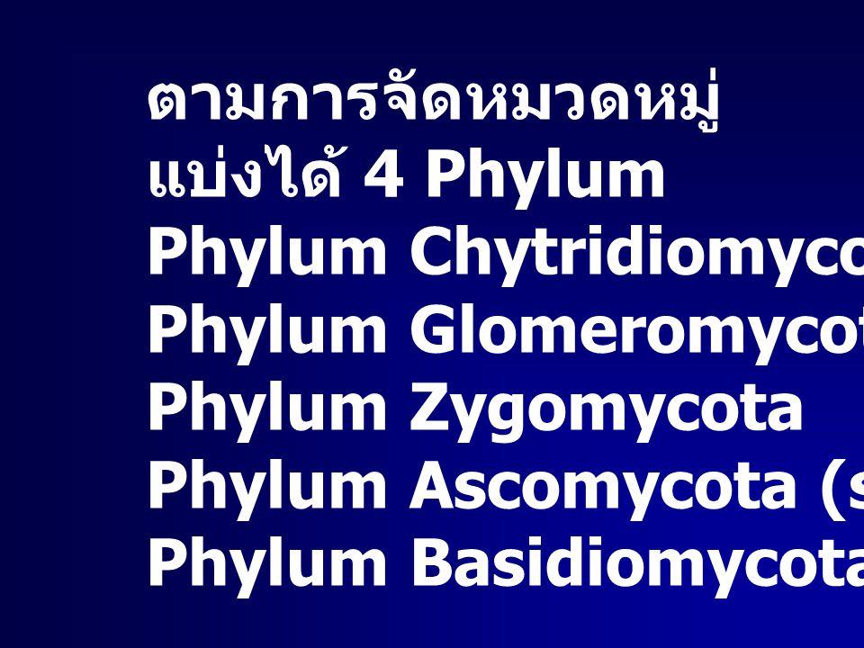 ตามการจัดหมวดหมู่ แบ่งได้ 4 Phylum Phylum Chytridiomycota Phylum Glomeromycota Phylum Zygomycota Phylum Ascomycota (sac fungi) Phylum Basidiomycota