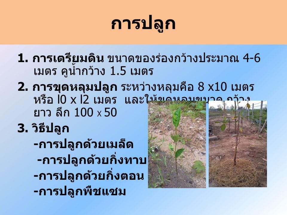 การปลูก 1.การเตรียมดิน ขนาดของร่องกว้างประมาณ 4-6 เมตร คูน้ำกว้าง 1.5 เมตร 2.