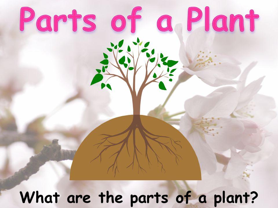 Vocabulary 1) Plant- พืช 7) Buds- ดอกตูม 2) Roots- ราก 8) Flower- ดอกไม้ 3) Stem- ลำต้นเล็ก 9) Fruit- ผลไม้ 4) Trunk- ลำต้นใหญ่ 10) Stomata- รูปาก ใบ 5) Leaves- ใบไม้ 11) Chlorophyll- สารสี เขียว 6) Seed- เมล็ด 12) Photosynthesis- การสังเคราะห์ แสง