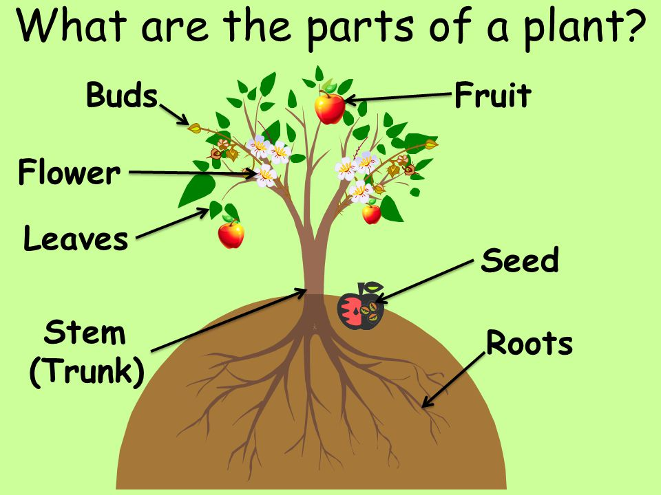 What are the parts of a plant? Flower Leaves Stem (Trunk) Fruit Seed Roots Buds